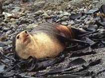 Image of Arctocephalus tropicalis (Subantarctic fur seal)