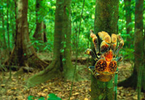 Image of Birgus latro (coconut crab)