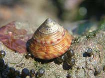 Image of Calliostoma zizyphinum (painted top-shell)