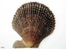 Image of Mimachlamys varia (variegated scallop)