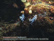 Image of Chromodoris willani (Willan