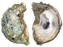Image of Crassostrea virginica (American cupped oyster)