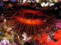 Image of Ctenoides ales (electric flame scallop)