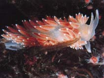 Image of Flabellina verrucosa (red-finger aeolis)