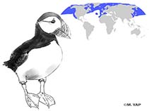 Image of Fratercula arctica (Atlantic puffin)