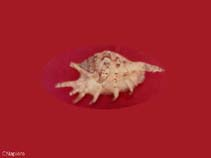 Image of Lambis lambis (common spider conch)