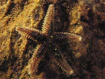 Image of Leptasterias littoralis (slender green sea star)