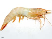 Image of Litopenaeus setiferus (northern white shrimp)