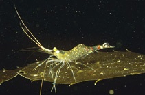 Image of Macrobrachium intermedium (striped river prawn)