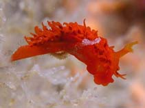Image of Madrella sanguinea (blood red sea slug)