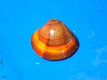 Image of Meretrix meretrix (Asiatic hard clam)