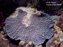 Image of Mycetophyllia ferox (rough cactus coral)
