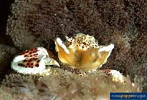 Image of Neopetrolisthes maculatus (small-dot anemone crab)