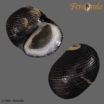 Image of Nerita picea (pitchy nerite)