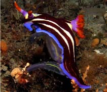 Image of Nembrotha rutilans (red-gilled Nembrotha)