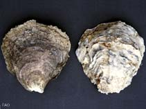 Image of Ostrea edulis (edible oyster)