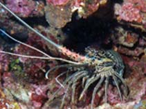 Image of Panulirus versicolor (painted spiny lobster)