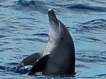 Image of Tursiops aduncus (Indian Ocean bottlenose dolphin)