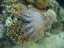 Image of Acanthaster planci (crown-of-thorns)