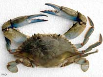 Image of Callinectes sapidus (blue crab)