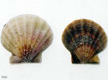 Image of Flexopecten glaber (smooth scallop)