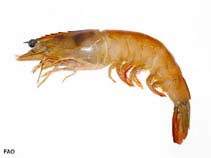 Image of Farfantepenaeus subtilis (southern brown shrimp)