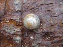 Image of Gibbula cineraria (grey topshell)