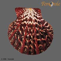 Image of Gloripallium pallium (royal cloak scallop)