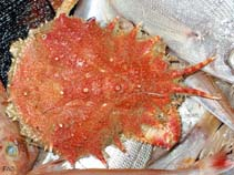 Image of Maja goltziana (spiny spider crab)