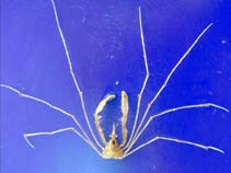 Image of Macropodia rostrata (long legged spider crab)