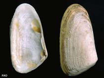 Image of Mesodesma donacium (Macha clam)