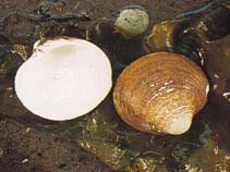 Image of Mercenaria mercenaria (northern quahog)