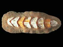 Image of Nuttallochiton mirandus
