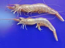 Image of Parapenaeus longirostris (deep-water rose shrimp)