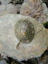 Image of Patella vulgata (common limpet)