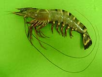 Image of Penaeus monodon (giant tiger prawn)