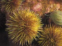 Image of Strongylocentrotus droebachiensis (Northern sea urchin)
