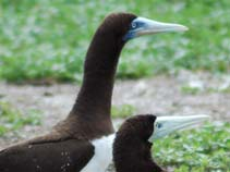 Image of Sula leucogaster (brown booby)