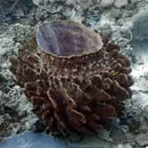 Image of Xestospongia testudinaria (barrel sponge)
